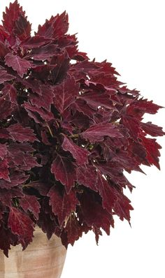 Our coleus plants love life in full sun, or the shade, how easy is that? They will happily grace your landscape or larger containers with their upright habit, color and texture. Unique Flowers, May Flowers, Spring Flowers, Beautiful Flowers, Red Plants, Exotic Plants, Container Plants, Container Gardening, Cherry Brandy