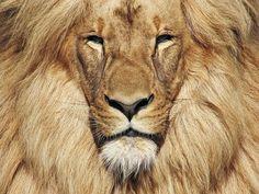 Katanga Lion,or also called Southwest African Lion, Leon by Milan Vorisek, via Flickr