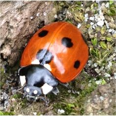 Ladybird eye to eye