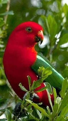 Australian King Parrot, Male red head achieved After about 18 months of age, Females have a green head.- Bing Images
