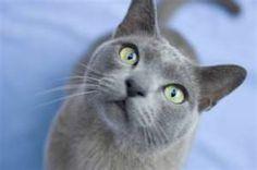 Blue Burmese Cat  