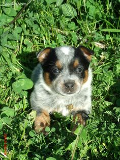 Australian Cattle Dog Pictures <3