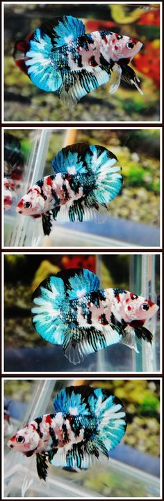 Betta | Betta Fish | Beautiful Fish | Betta Fish Pictures | Siamese Fighting Fish | Koi Green Plakat | Links to Aquabid