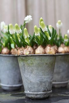 Stunning start to spring, a bucket of white bulbs!