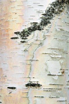 Birch Map by janet little, via Flickr - detail of birch tree bark in Vermont
