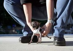 At 1.4 pounds and 4.9 inches tall, Ducky, a yappy short-coat Chihuahua from Charlton (Massachusetts, USA), holds the Guinness World Record for the world's smallest living dog (by height). Ducky succeeds Danka Kordak of Slovakia, a Chihuahua who measured 5.4 inches tall. The smallest dog ever, according to Guinness, was a dwarf Yorkshire terrier who stood 2.8 inches tall.