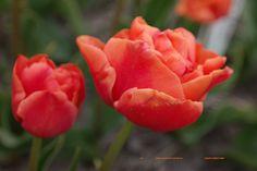 Tulipa 'Uncle Tom' - dubbele late tulp. Oude bekende soort, heet bruinrood van kleur te zijn.
