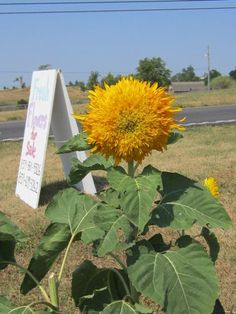 A Teddy Bear sunflower at the Frank's Flower Farm in Wilmore Kentucky.  Visit and buy a beautiful bouquet.  The are located a mile west of 68 on Wilmore Road.