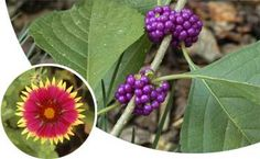 This website helps Florida homeowners determine what native plants will grow best in their area, depending on where in Florida they live and what type of plant they are looking for. Great tool!