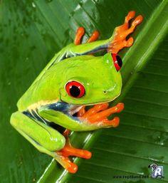 La grenouille aux yeux rouges (Agalychnis callidryas) est une espèce des forêts humides d'Amérique centrale.