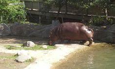I want a hippopotamus  for christmasssss
