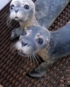 Cute Wild Animals, Baby Animals Pictures, Cute Little Animals, Cute Animal Pictures, Cute Funny Animals, Animals Beautiful, Animals And Pets, Cute Dogs, Cute Seals