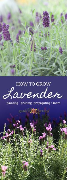 Essential Guide to Lavender - Lavender can be a bit tricky to grow and keep properly so that it is tidy and healthy, but this essential guide to lavender will provide you with a few tips that will help keep your lavender in top shape for years to come and the know-how you need to prune, propagate, and use this versatile garden staple.