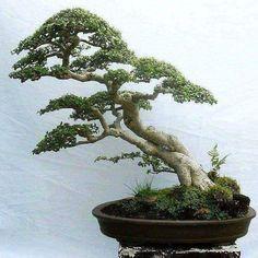 Best Bonsai Planter Ideas For Your Interior Design 42 Bonsai Acer, Bonsai Plants, Bonsai Garden, Cactus Plants, Bonsai Tree Care, Bonsai Tree Types, Bonsai Trees, Ficus, Plantas Bonsai