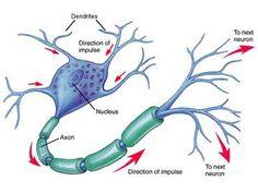 Estructura de una neurona.