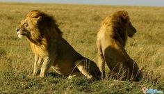 Gir National park, Wildlife Sanctuary, Gujarat, India  The sole home of the pure Asiatic Lions. iJiya TAG :8237125