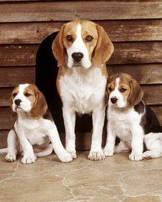 The breed I love: My best friend a Beagle...her name: FRIDA <3