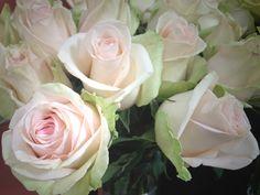 La Perla rose from South America