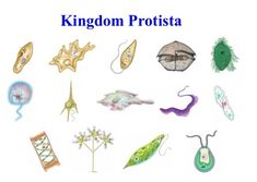 Kingdom - Protista
