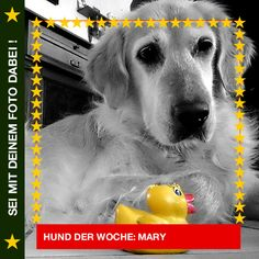 Golden Retriever Mary Quietscheentchen, nur mit dir…  #Hund: Mary / Rasse: #Golden Retriever       Mehr Fotos: https://magazin.dogs-2-love.com/hund-der-woche/golden-retriever-mary/ Baden, Foto, Hund, Spaß