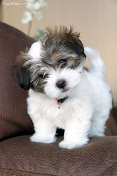 cute teacup puppies Some of the things I respect about the Funny Havanese Dog Super Cute Puppies, Cute Baby Dogs, Cute Little Puppies, Super Cute Animals, Small Puppies, Cute Dogs And Puppies, Cute Funny Animals, Cute Baby Animals, Doggies