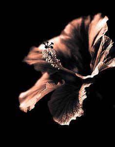 Black Ibiscus