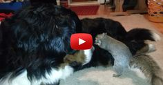 Squirrel trying to hide an acorn in a dogs fur! Video of the week!