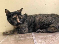 Photo: TO BE DESTROYED 8/7/14 Manhattan Center  My name is DANI. My Animal ID # is A1008749. I am a female tortie domestic sh mix. The shelter thinks I am about 6 YEARS old.  I came in the shelter as a OWNER SUR on 07/31/2014 from NY 10465, owner surrender reason stated was OWN EVICT. I came in with Group/Litter #K14-188190.  MOST RECENT MEDICAL INFORMATION AND WEIGHT 07/31/2014 Exam Type VACCINATE - Medical Rating is 1 - NORMAL , Behavior Rating is NONE, Weight 7.0 LBS.  No Final ...