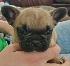 Skeeter, a French Bulldog Puppy