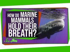 how do marine mammals hold their breath for so long - Bing video