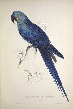 Illustrations of the family of Psittacidœ, or parrots : Edward Lear  - Biodiversity Heritage Library