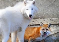 When a Wolf and a Fox play together <3
