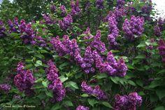 Conrad Art Glass & Gardens  Ludwig Spaethe lilac
