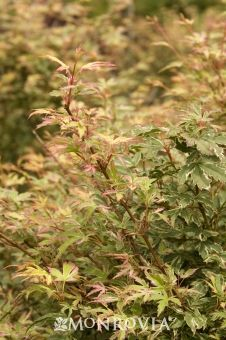 Butterfly Japanese Maple Acer palmatum 'Butterfly' - Slow-growing small tree or shrub 7 to 9 ft. tall, 5 to 6 ft. Trees And Shrubs, Trees To Plant, Japanese Maple Varieties, Dwarf Plants, Monrovia Plants, Foundation Planting, Plant Catalogs, Acer Palmatum, Tree Care