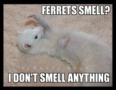 Do Ferrets Smell Bad?? <<<< not if you care for them properly