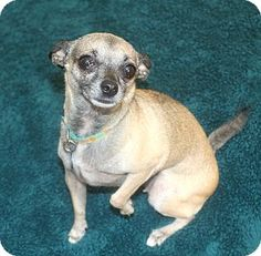 Los Angeles, CA - Chihuahua. Meet Penny 5.4 lbs and Loves men! a Dog for Adoption.