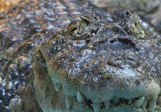 crocodile's eyes