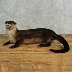 This gorgeous river otter taxidermy mount is for sale and ready for your diorama @thetaxidermystore.com