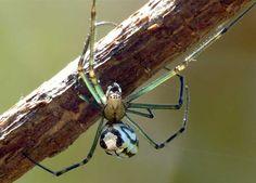 (Leucauge dromedaria) Australia
