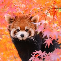 One of the rare pandas the red Panda is found in China and Canada.Oh ist süß! Red Panda Cute, Panda Love, Cute Creatures, Beautiful Creatures, Animals Beautiful, Cute Funny Animals, Cute Baby Animals, Animals And Pets, Panda Mignon