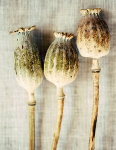 Poppy seed pods are fabulous in preserved arrangements and last for years.