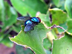 Snapshots of Beauty - Iconic Aussies.  Is this a blue arsed fly??