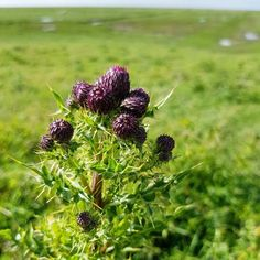 Starting this Saturday with a very prickly sea thistle. Ture Love, Netherlands, Sea, Plants, Beautiful, The Nederlands, The Netherlands, Ocean, Holland
