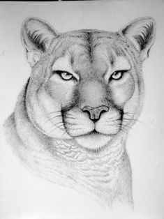 Puma - Mountain Lion Pencil Drawings from Color Blind Artist Click the image for more art by Kelly Six Pencil Sketches Of Animals, Realistic Animal Drawings, Horse Drawings, Pencil Art Drawings, Art Drawings Sketches, Cool Drawings, Wild Animals Drawing, Cute Animals To Draw, Horse Pencil Drawing