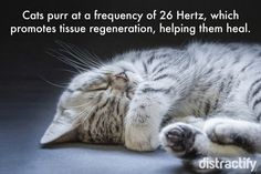 Cats purr at a frequency of 26 Hertz #Cat #InterestingFact #WHY