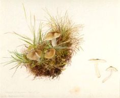 Beatrix Potter Botanical Drawings | Beatrix Potter (1866-1945) was