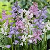 Woodland Hyacinth - Blue Bells - August... Hyacinthoides hispanica - 20 flower bulbs