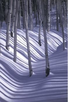 a stand of trees adrift in the snow