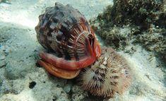 Cypraecassis rufa (L) and Pseudoboletia maculata (R) by Dawn Goebbels in fb
