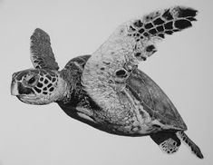 Hawksbill by william harrison, wolff carbon pencil on paper